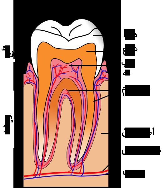 درمان ریشه دندان RCT